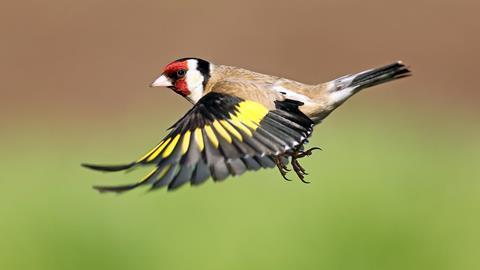 Goldfinch in flight, Lochwinnoch, Scotland.