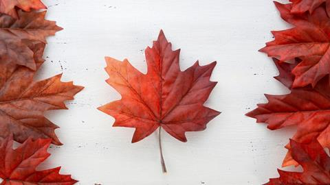Red silk maple leaves in shape of Canadian Flag