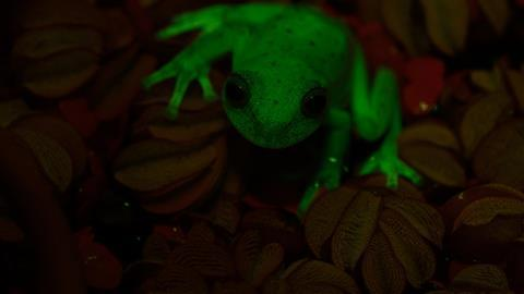 Meet the fluorescent tree frogs of South America class=