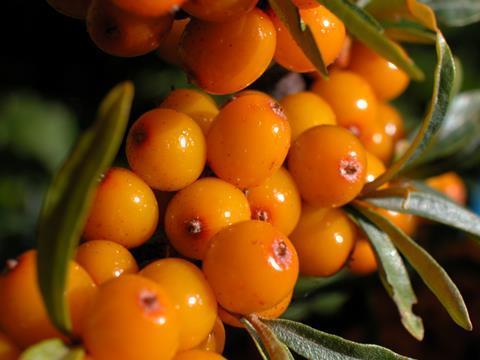 Berries of Hippophae rhamnoides – sea buckthorn