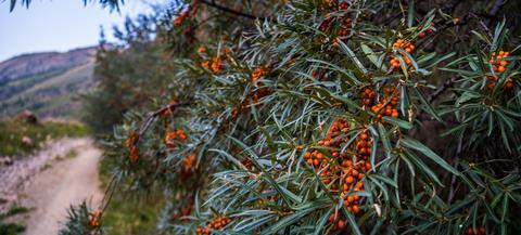 Ripe sea buckthorn berries on the plant