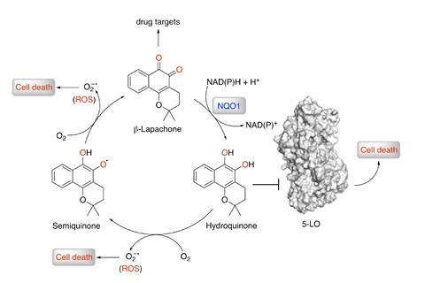 Activation of the quinone results in a hydroquinone species responsible for generation of reactive oxygen species (ROS) and inhibition of 5-LO.