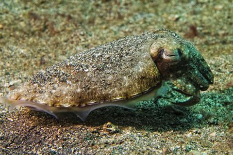 A cuttlefish