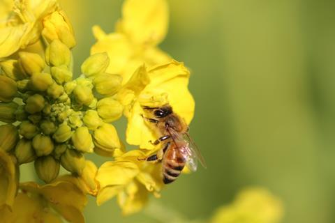 An image showing a honey bee on a rapeseed flower