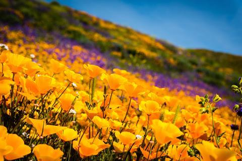 Yellow California poppies and wildflowers color the mountains during the super-bloom in southern California