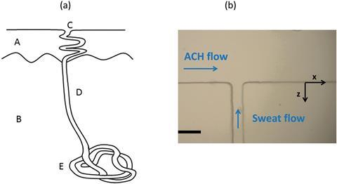 microfluidic sweat gland mimic