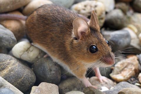Wood mouse, Apodemus sylvaticus