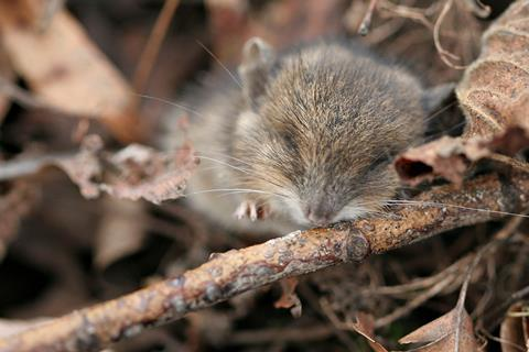 Young long-tailed field mouse