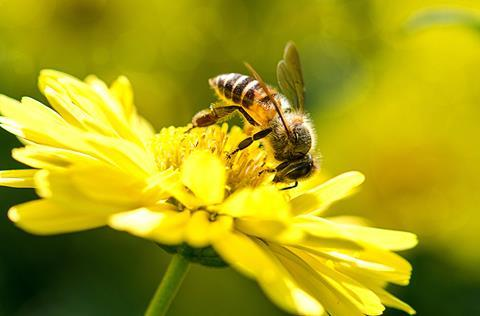 Picture of a honey bee collecting pollen from a flower