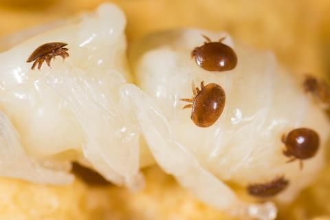 Varroa destructor mite on a honey bee pupa