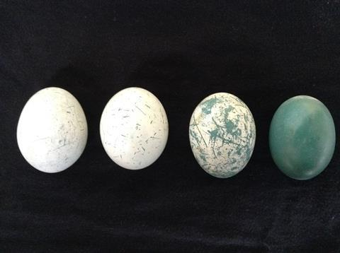 Eggs showing progressive amounts of wear
