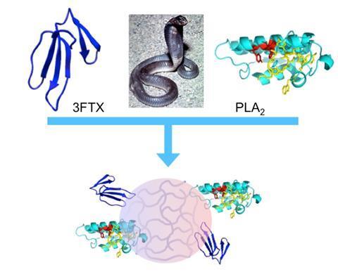 Schematic: Synthetic polymer nanoparticles bind elapid snake venom toxins and inhibit venom-induced dermonecrosis