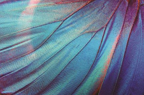 Morpho Butterfly Wing close-up
