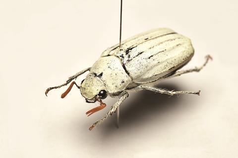 Cyphochilus insulanus, white beetle