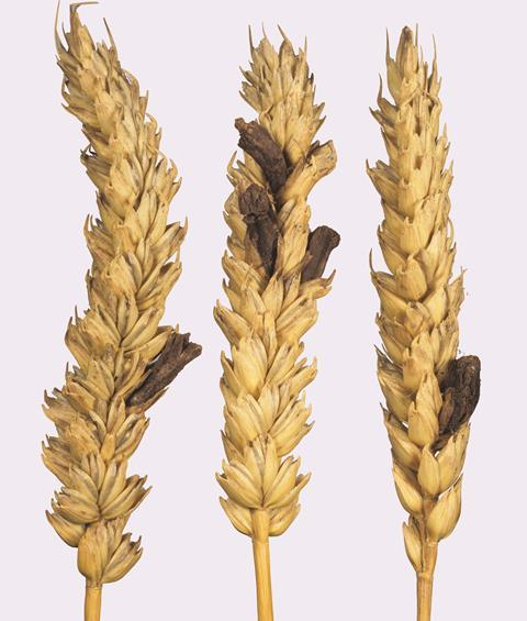 Ergot claviceps purpurea on wheat