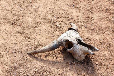 A cattle skull on bare ground