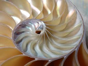 Inside of a shell showing mother of pearl