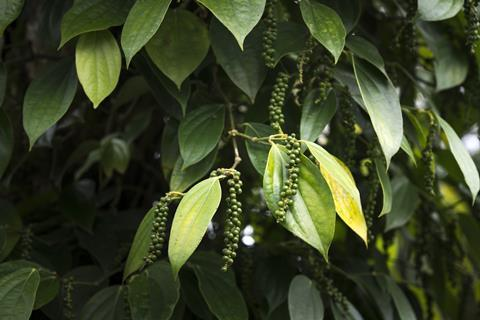 Pepper fruits on the plant