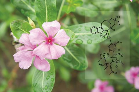 Periwinkle flowers, vinca rosea (left) and vincristine structure (right)