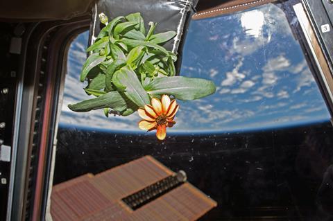 Zinnia flower onboard ISS