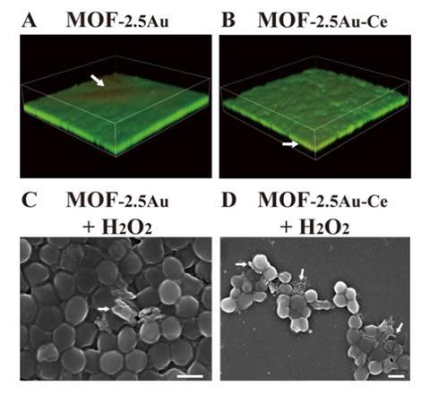 An image showing the penetration of MOF-2.5Au and MOF-2.5Au-Ce into 48 h old biofilms treated for 4 h