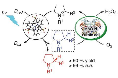 Enantioselective synthesis of amines by combining photoredox and enzymatic catalysis in a cyclic reaction network