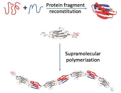 A scheme explaining engineering protein polymers of ultrahigh molecular weight via supramolecular polymerization