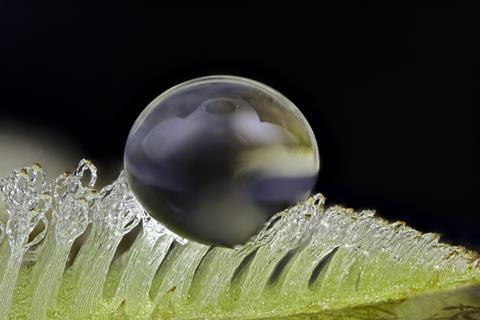 An image showing a water drop on Salvinia sp