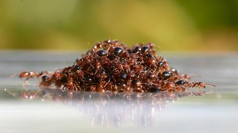 An image showing fire ants on water