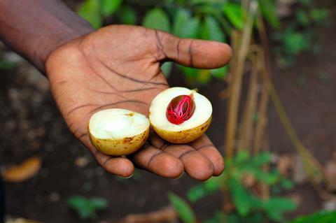 Fresh nutmeg in Zanzibar (Tanzania) in a spice farm