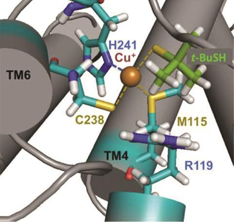 Two active sites with copper can coordinate to thiols