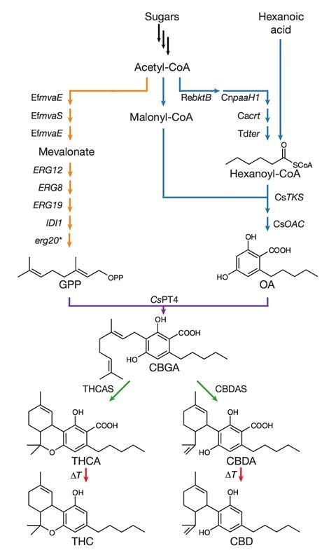 Schematic diagram showing the complete biosynthetic pathway for the synthesis of cannabinoids in S. cerevisiae