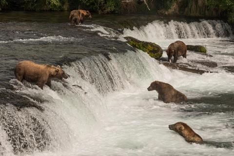 Grizzly bears fishing in river
