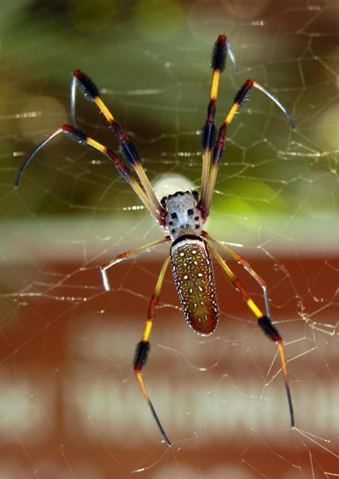 Female Banana spider (Nephila clavipes) from Bulow Creek State Park, Florida.