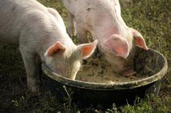 piglets-eating_shutterstock_250