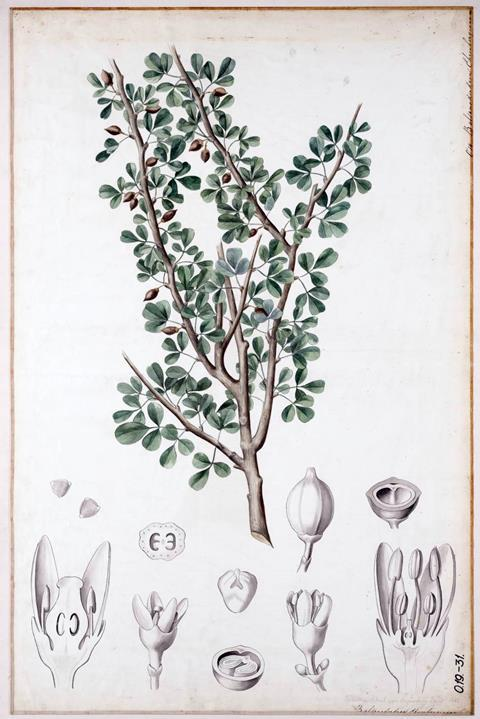 Commiphora gileadensis, botanical illustration