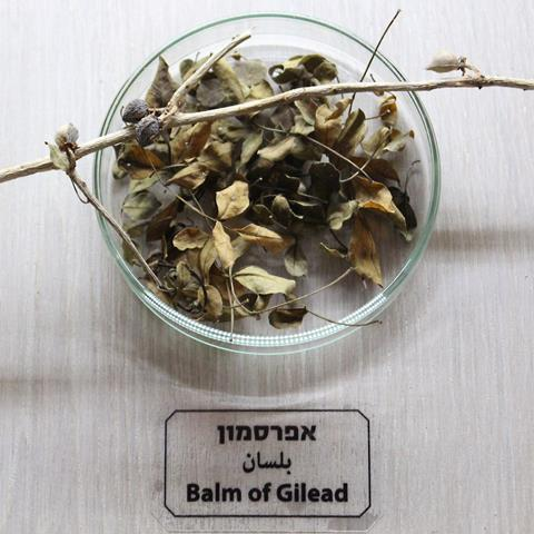 Dried twigs and leaves of the plant Commiphora gileadensis, source of Balm of Gilead