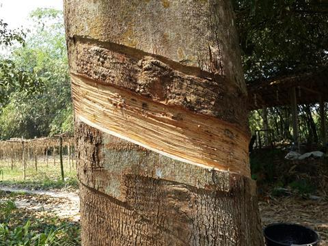 A tree with bark removed to extract latex