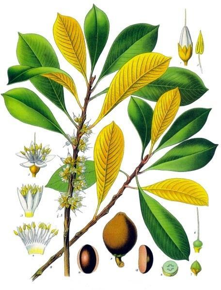 Illustration of Palaquium gutta leaves, branches, flowers and seeds