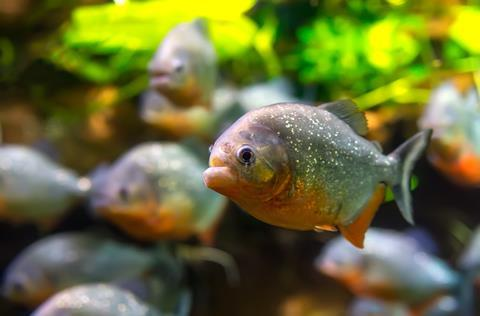 Piranha (Colossoma macropomum) in an aquarium on a green background