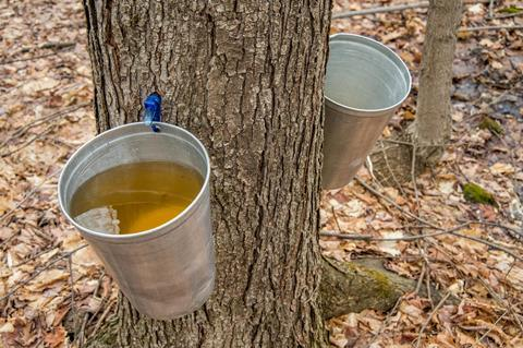 A bucket collecting maple syrup tapped from the tree