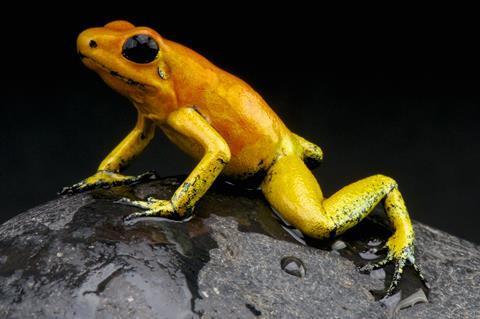 Golden dart frog - Phyllobates terribilis