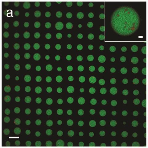 Confocal fluorescence microscopy image