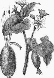 squirting-cucumber_Ecballium-elaterium_shutterstock_180