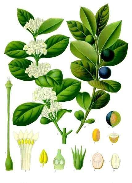 Illustration of Acokanthera schimperi flowers, leaves, fruit and seeds