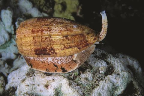 0118CW - Venoms Feature - Cone snail