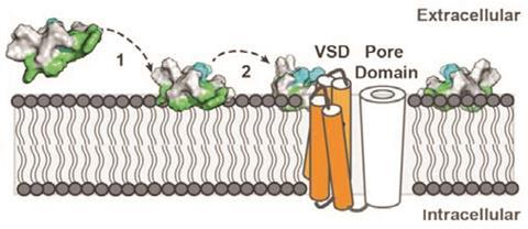 0118CW - Venoms Feature - ProTX-II binding to membrane and sodium channels