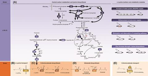 Metabolic pathway design for the production of glutarate in Corynebacterium glutamicum. The overview illustrates the genomic layout of each producer, created in this work, including core carbon metabolism and L-lysine synthesis (A) and secretion (B), 5-am