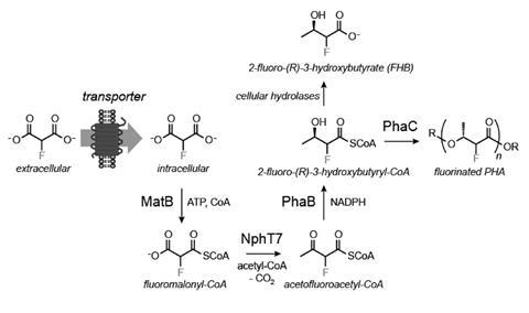Pathway for the production of FHB and fluorinated PHA synthesis from fluoromalonate