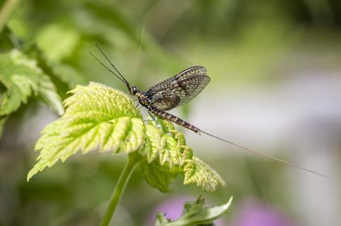A photograph of a mayfly
